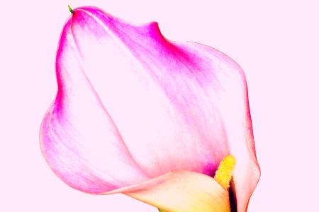 Pink Calla Lily - Apothekari Skincare