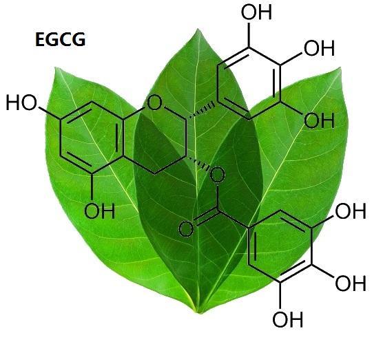 Benefits of Green Tea EGCG: New Study