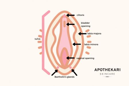 vulva-anatomy-apothekari-skincare